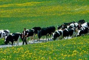 Raznolikost u rasa muznih krava