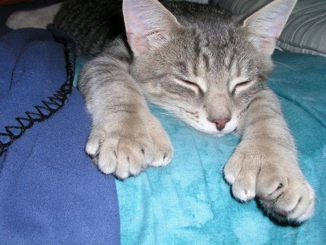 polydactyl mačke