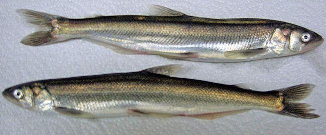Capelin - vrijedan hranu za ribe.