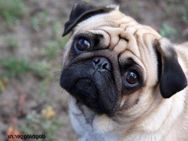 Pugs - pas koji je imao privilegovan položaj u dalekoj prošlosti.