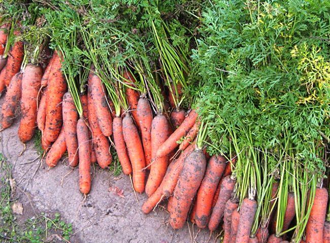 sort morkovi pod zimu