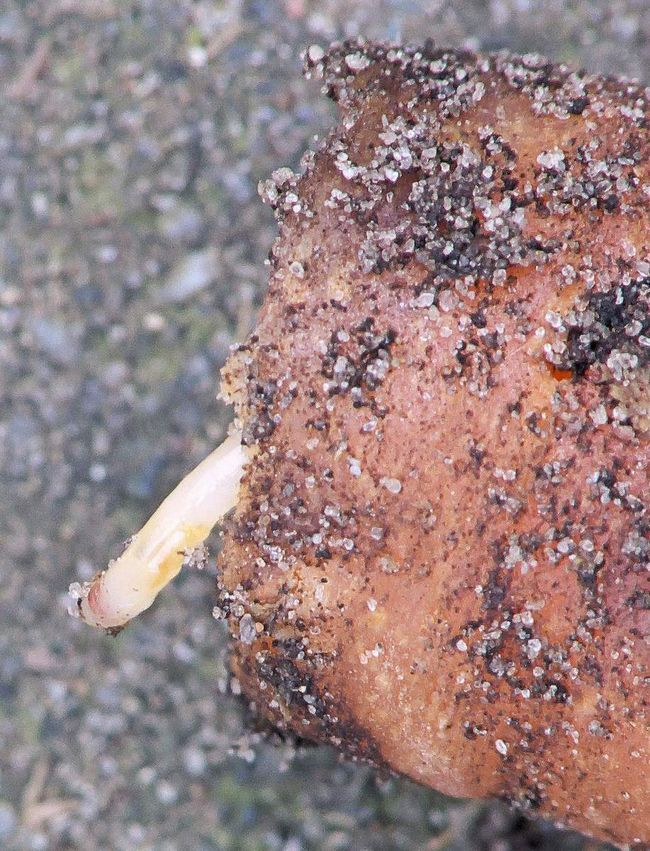 Внутри корнеплода личинки проделывают ходы и питаются мякотью моркови.