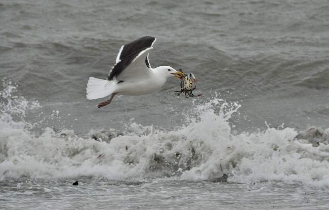 More Gull schopné vysokej rýchlosti.