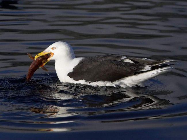 Sea Gull - bojovníci hlodavce.