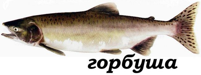 Rieka losos (Oncorhynchus gorbuscha).