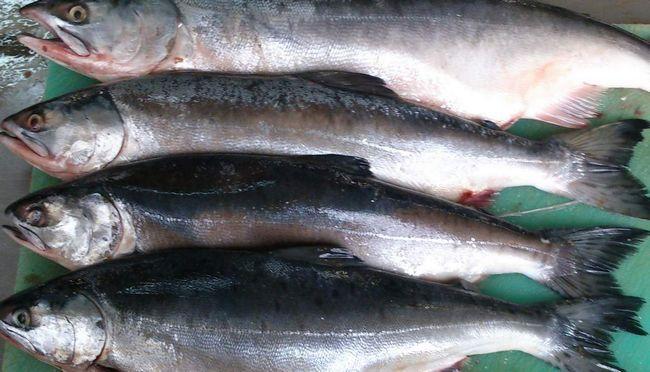 Losos - veľmi cenný potravinová ryba.