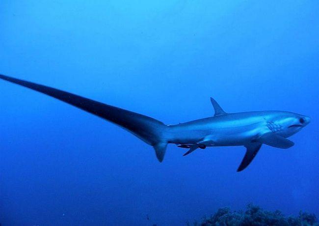 Fox ajkula jede delfin, kao i školjke i ribe.
