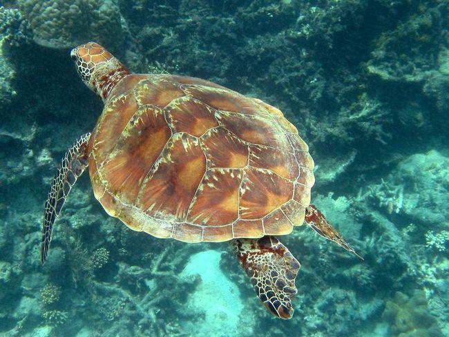 Morskih kornjača (Cheloniidae).