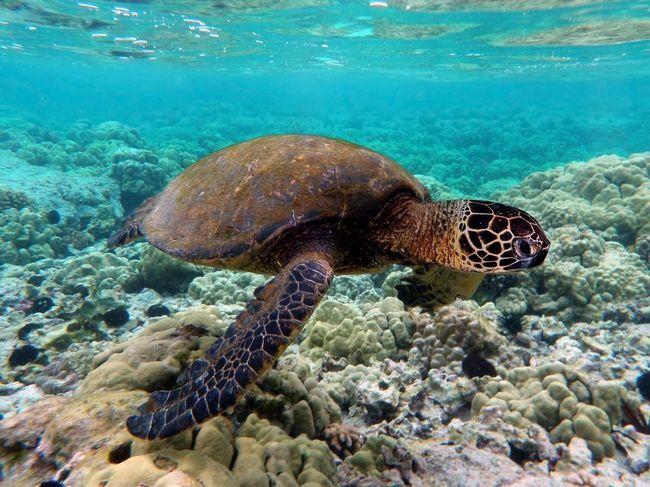 Morske kornjače - veliki reptila.