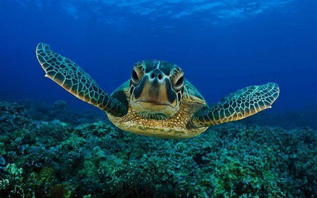Morske kornjače - stogodišnjaka.