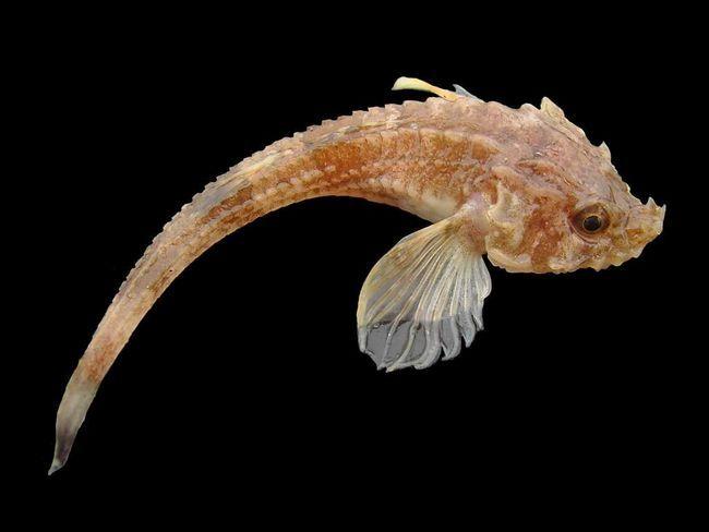 Morské líšok telo je pokryté radmi rohovitými doštičiek, ktoré im dávajú mnohostena tvar.