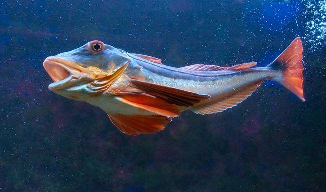 Gurnard - predatorske ribe.