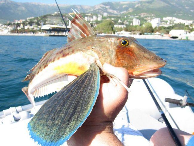 Mora cocks - vrijedne komercijalne ribe.