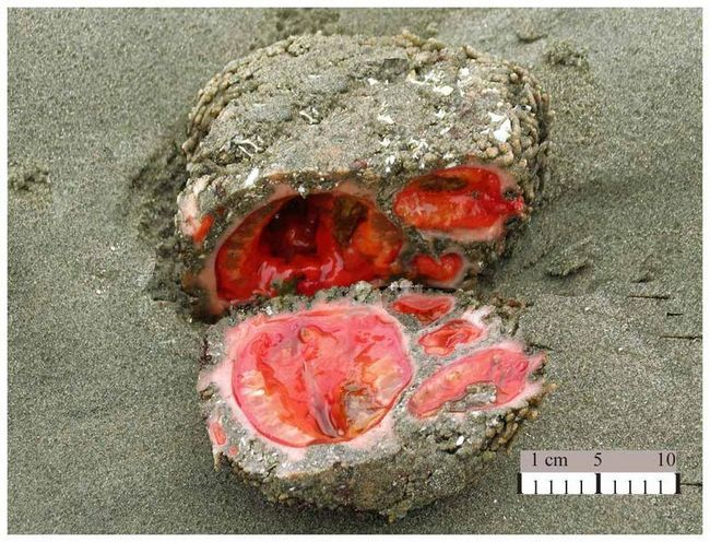 Marine životinja Pyura chilensis