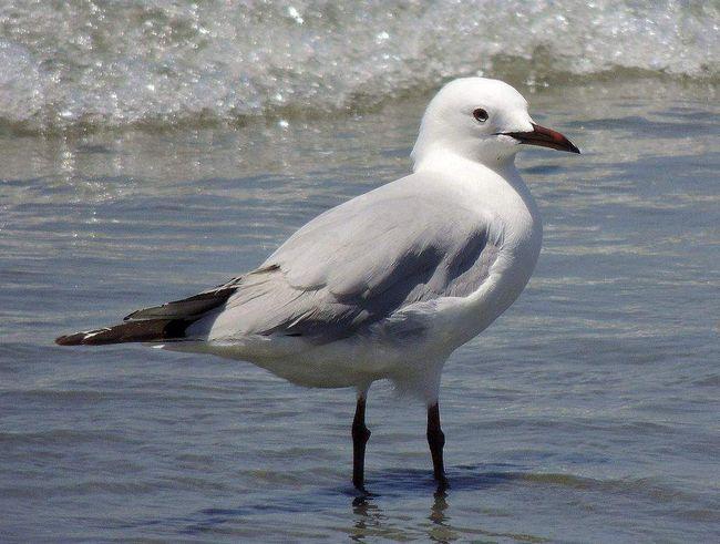 U mladých vtákov horná strana šedá, spodné biele, sivé škvrny na hlave a krku.
