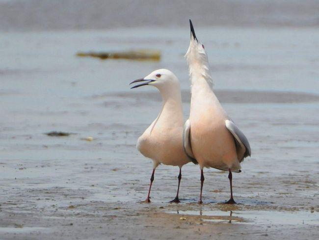 Čajka Tenkozobý zriedka vidieť na otvorenom mori ďaleko od pobrežia.