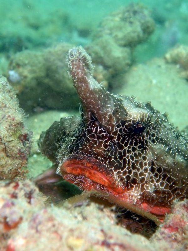 Marine Bat (lat. Ogcocephalus) (eng. Batfish)