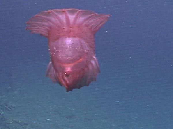 Mořské okurky, Enypniastes, plováky tak půvabně nad dnem, oni jsou často zaměňovány s medúzy.