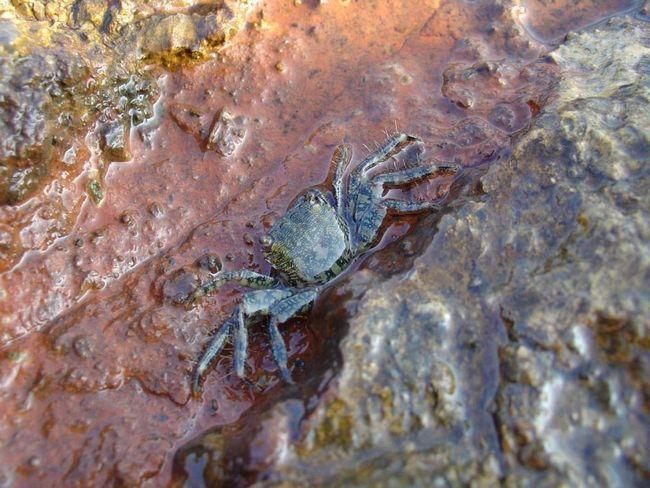 Подаването морски паяци не капризен.