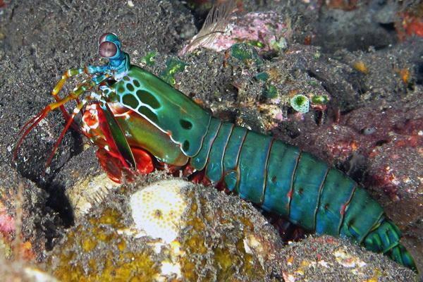 Offshore rak-bogomoljka (lat. Odontodactylus scyllarus)