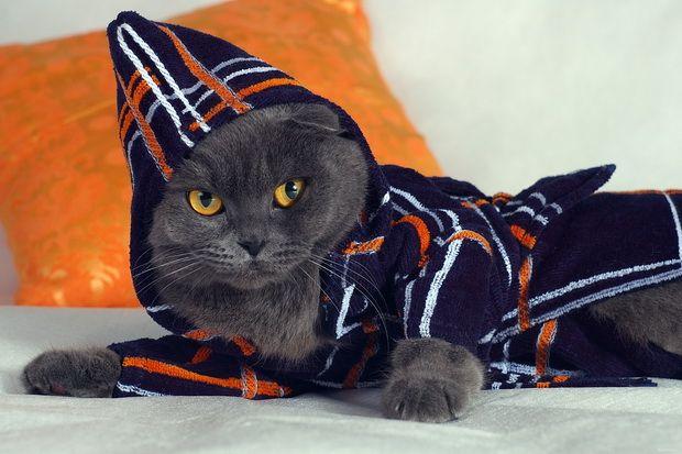 Мотивы поведения британских кошек