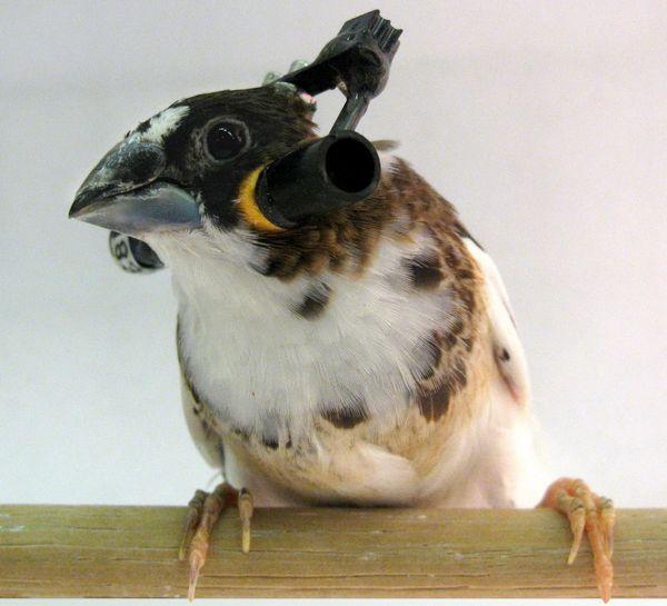Japanski Finch sa novatorskom istraživanja slušalice (foto Samuel J. Sober / Emory University).