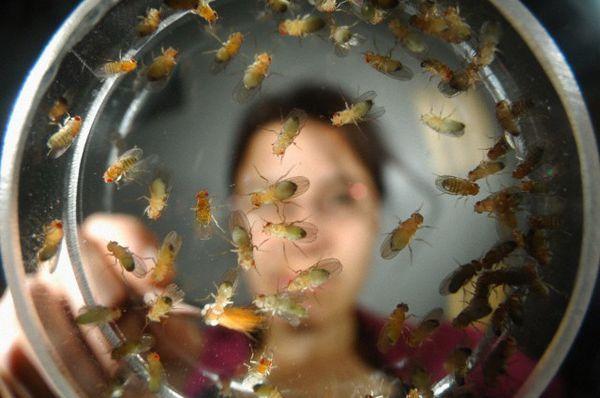 S obzirom na laboratorijske voćne mušice, razmislite o tome: ako se računaju na isti način da se istraži?