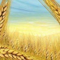 WIP izvještaju od 26. juna, Ukrajina, pšenice i žitarica