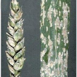 Мучнистая роса пшеницы