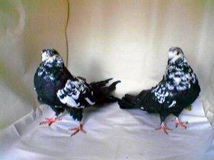 Мурые голуби