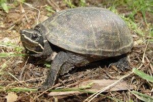 Мускусная черепаха: содержание