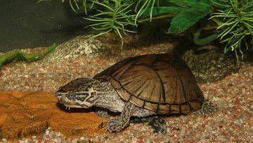 Mošus kornjača, Sternotherus odoratus