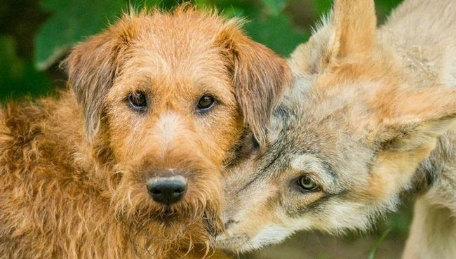 Волки оказались гораздо азартнее собак