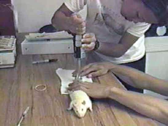 Miševa i ljudi imaju bliži odnos nego što se mislilo