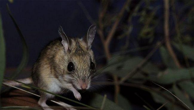 Мыши оказались любимым лакомством австралийских сомов
