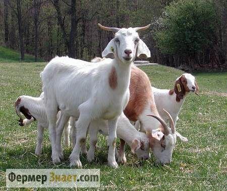 На что ориентироваться при покупке козы: важные моменты