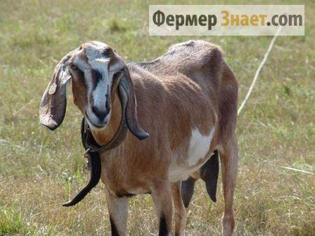Sve informacije o ovoj tvrtki farmer nubijski koze
