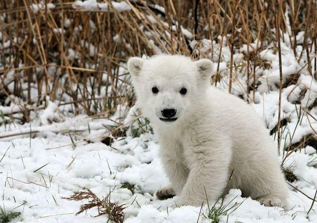 Na obali Chukchi polarnog medvjeda nalazi bez majke.
