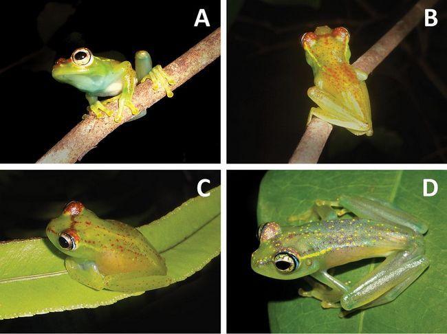 Na Madagaskaru su otkrili neobičan vrsta žaba