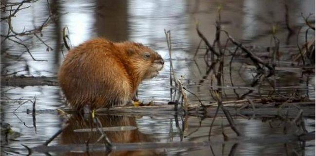 На реке миасс, в челябинске, поселилось семейство ондатр