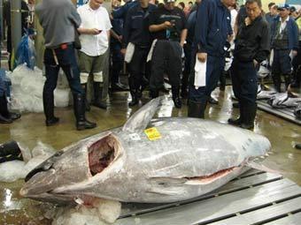 gigant tuna
