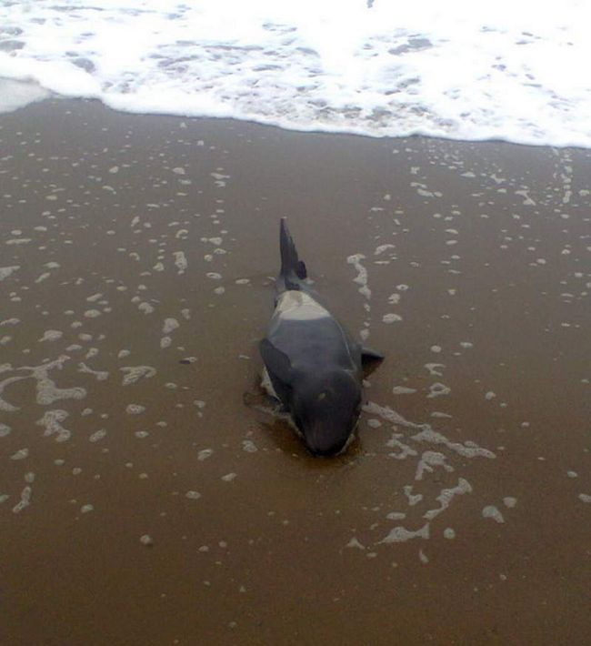 U Dolinsky četvrti na obali skočio orka.