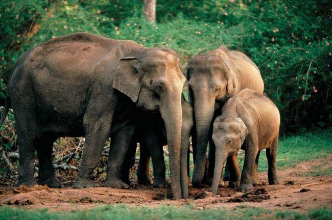 A strašna tragedija dogodila u Šri Lanki, gdje je ubijeno munje proboscidians divovi.