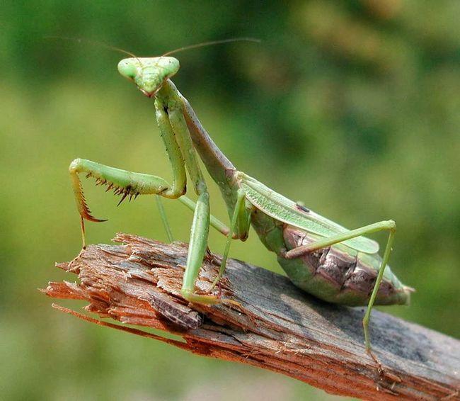 (Mantis).