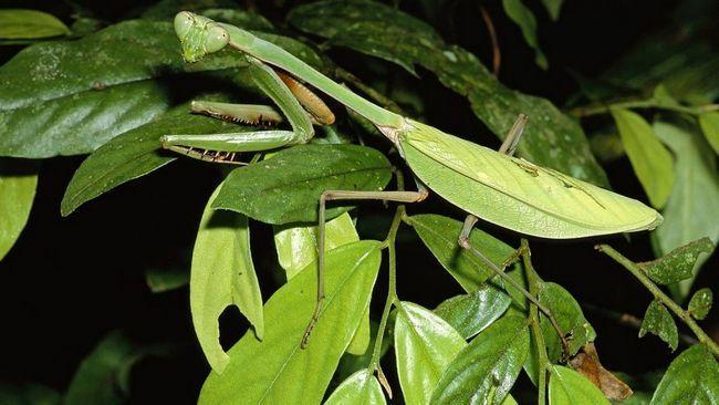 Zahvaljujući maskirne bojenje, insekata gotovo nevidljiv na pozadini zelenila.
