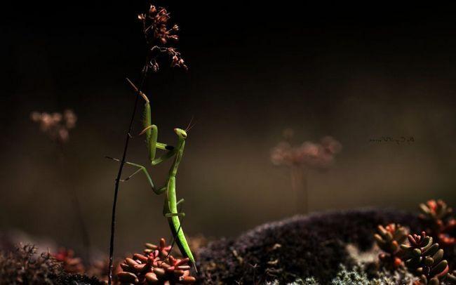 Mantis proširila gotovo cijelom planetu.