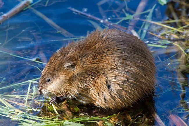 Otter - stanovnik Ugra Nacionalnog parka.