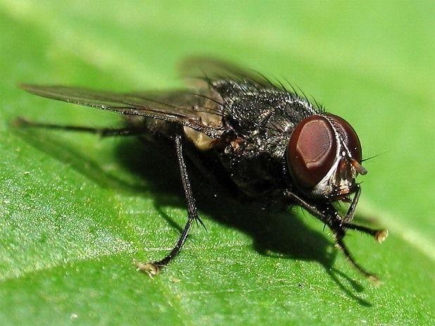 cibule fly
