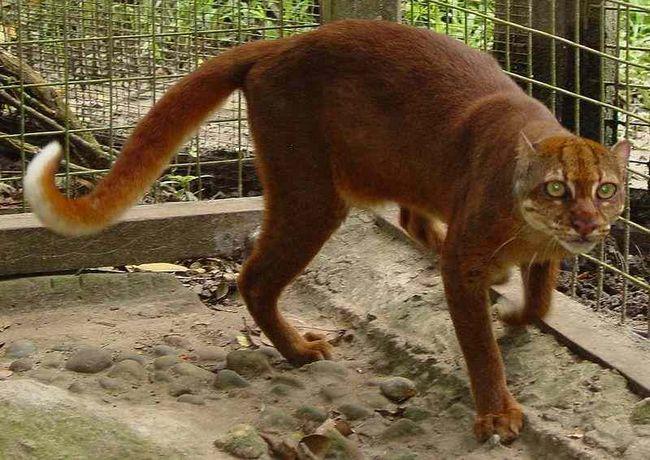 Калимантанская (борнеоская) кошка, Catopuma badia