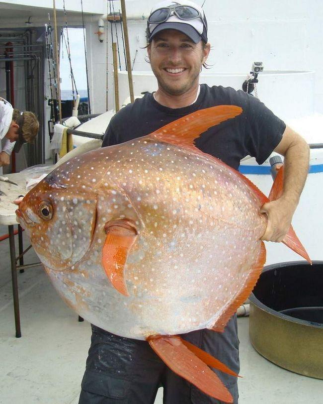 Nacrt Opah ribe.